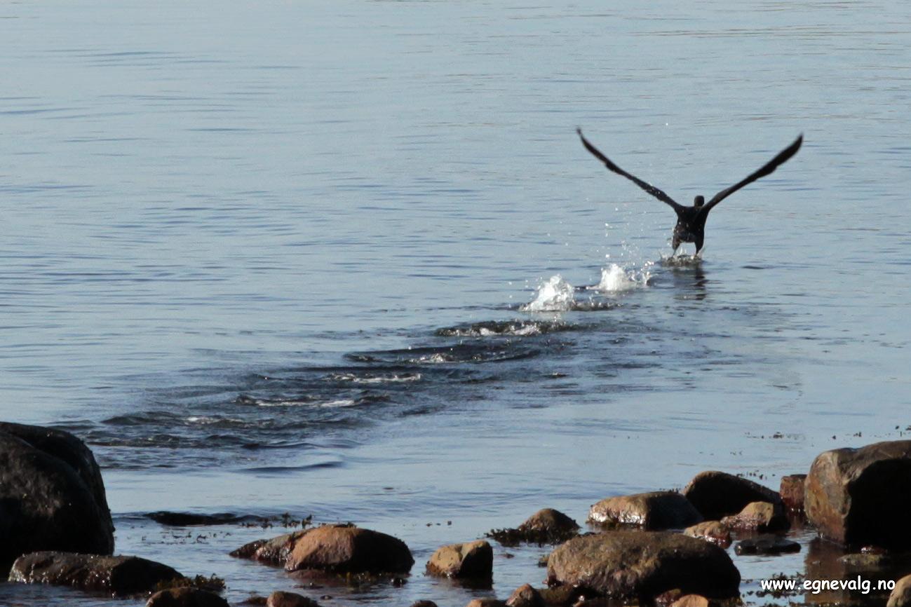 Lettelse - Relief - Skarv - Cormorant